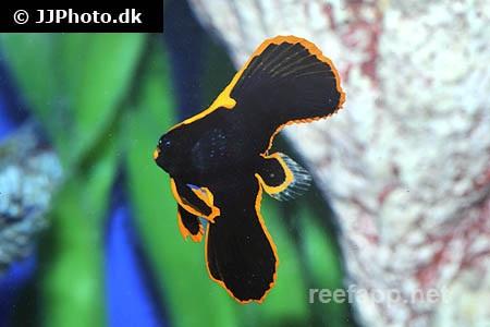 Ephippidae
